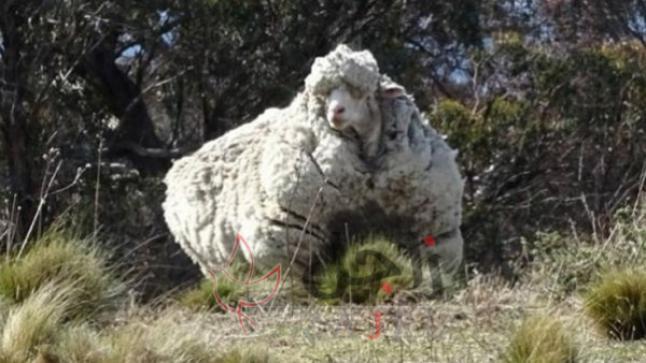 وفاة أشهر خروف في العالم