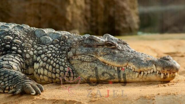 """""""أغرب رهينة""""… قرويون يحتجزون تمساحا بطول مترين"""
