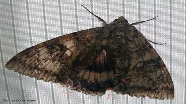 بحجم طائر…العثور على فراشة في تشرنوبل